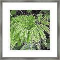 Maidenhair Fern Framed Print