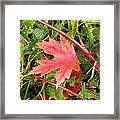 Maple Leaf Forever Framed Print
