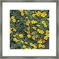 Marigolds (tagetes 'tangerine Gem') Framed Print by Adrian Thomas