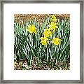 Mary's Daffodils Framed Print