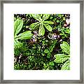 Mayapples In Forest Framed Print