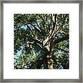 Mighty Oak Framed Print