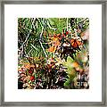 Monarch Butterfly Gathering Framed Print