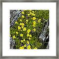 Monkey-flower (mimulus Primuloides) Framed Print