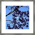 Moon Through Dogwood Framed Print