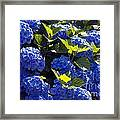 Mophead Hydrangeas Dry Brushed Framed Print
