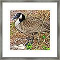 Mother Goose At Nest Framed Print by Susan Leggett