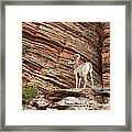 Mountain Goat Framed Print