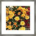 Multi Colored Mums Framed Print