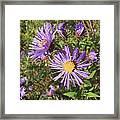 New England Aster Wildflower - Purple Framed Print