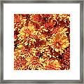 Orange Chrysanthemums Framed Print