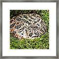 Ornate Horned Frog Framed Print