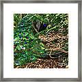 Peacock Hiding Framed Print