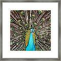 Peacock Plumage Feathers Framed Print