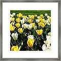 Peddler's Tulip 2012 3 Framed Print