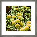 Peronospora Parasitica Framed Print