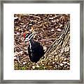 Pileated Woodpecker 3 Framed Print