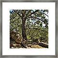 Pine Tree And Rocks Framed Print