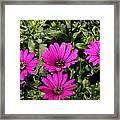 Pink Daisy's Framed Print