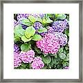 Pink Purple Hydrangeas Framed Print