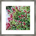 Pink Shrimp Plant Framed Print