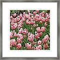 Pink Tulips 2 Framed Print