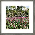 Pink Tulips And Blossom 1 Framed Print