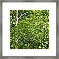 Poplar Tree And Leaves No.368 Framed Print