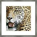 Portrait Of A Captive Jaguar Panthera Framed Print