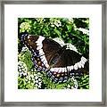 Posing Butterfly Framed Print