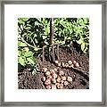 Potato Crop Framed Print