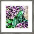 Purple Hydrangeas Framed Print