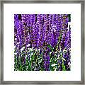 Purple Lavender Flower In Bloom  Framed Print