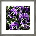 Purple Pansies Square Framed Print