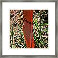 Red Feather Framed Print