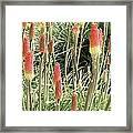 Red Hot Poker (kniphofia 'atlanta') Framed Print