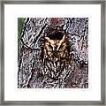 Reddish Screech Owl Framed Print