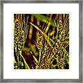 Ripening Wheat Framed Print