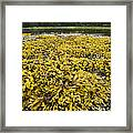 Rock Weed Fucus Gardneri At Low Tide Framed Print