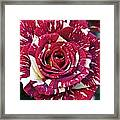 Rose 1 Framed Print