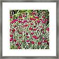 Rose Campion (lychnis Coronaria) Framed Print