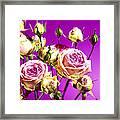 Roses (rosa Sp.) Framed Print
