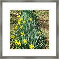 Row Of Daffodils Framed Print