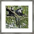 Ruwenzori Black-and-white Colobi Framed Print