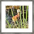 Sandhill Crane Hatchling Framed Print by Lynda Dawson-Youngclaus