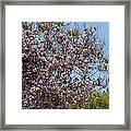 Saucer Magnolia Or Tulip Tree Magnolia X Soulangeana Framed Print