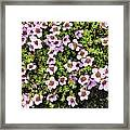 Saxifraga Oppositifolia Flowers Framed Print