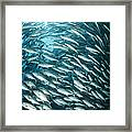 School Of Jacks, Indonesia Framed Print