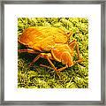 Sem Of A Bed Bug Framed Print
