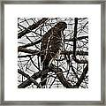 Sharp Shinned Hawk Framed Print